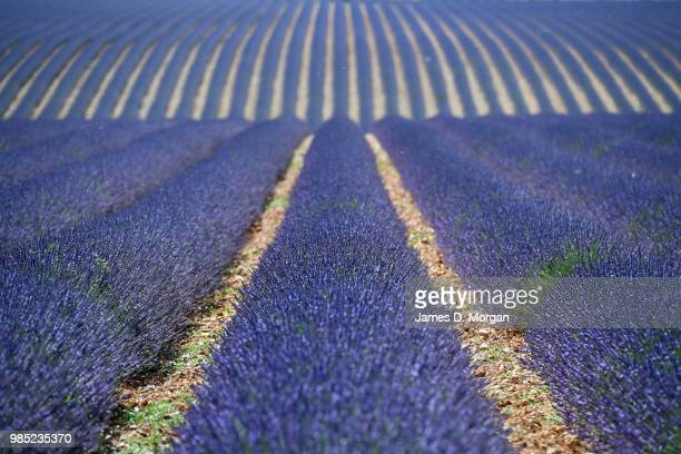 Rows of lavender in full bloom on June 27, 2018 in Valensole, France. Covering approximately 800 square kilometres, the plateau of Valensole is the...