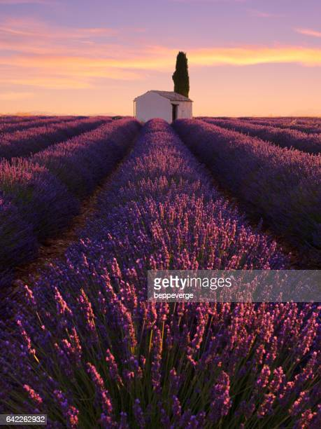 Rows of lavender in Provence