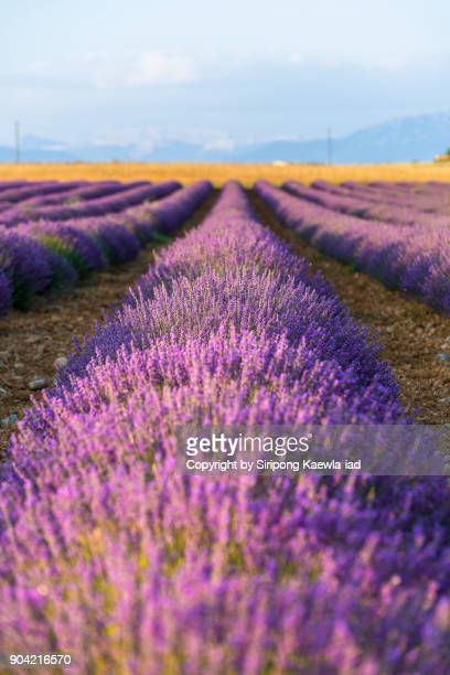 Rows of lavender in Valensole, Alpes-de-Haute-Provence, France.