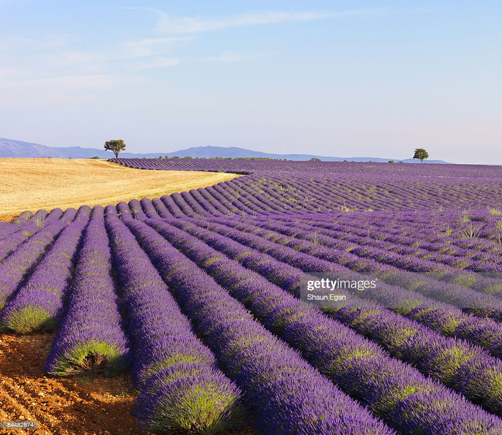 Rows of lavender on plateau : Bildbanksbilder