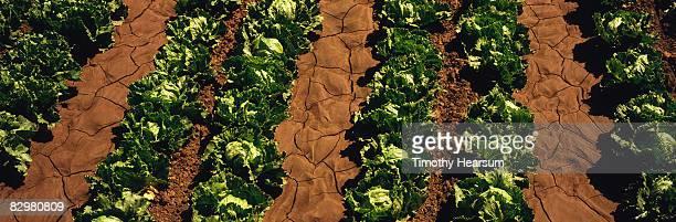 rows of mature head lettuce - timothy hearsum stock-fotos und bilder