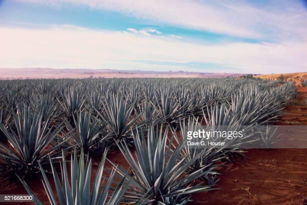 rows of mexican agave - jalisco fotografías e imágenes de stock