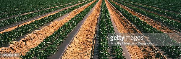Rows of mid-growth bell pepper plants on black plastic in the Coachella Valley in the spring