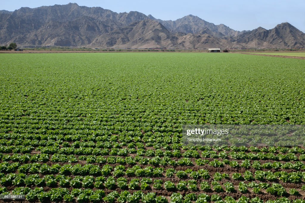 Rows of midgrowth lettuce plants; mountains beyond : Stock Photo