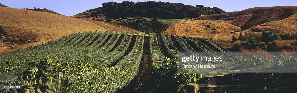 Rows of netted grapevines climb up a hillside : Stock Photo