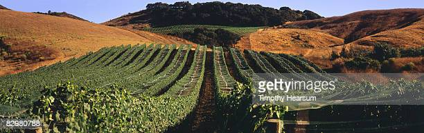 rows of netted grapevines climb up a hillside - timothy hearsum stock-fotos und bilder