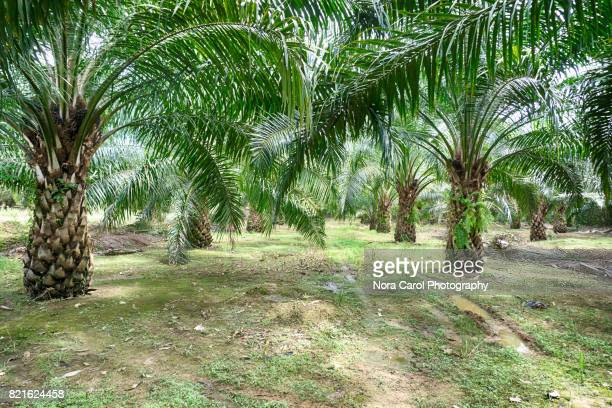 Rows of Oil Palm Trees
