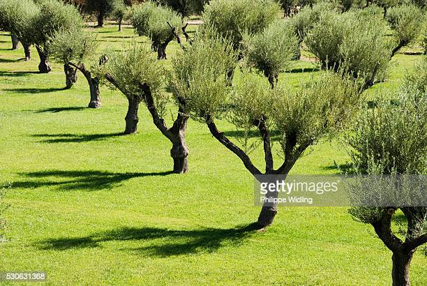 Rows Of Olive Trees And Their Shadows; Mendoza, Argentina