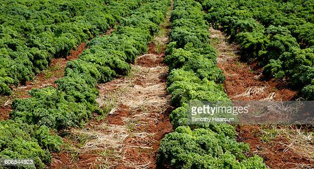 rows of organic kale (brassica oleracea) - timothy hearsum stock photos and pictures