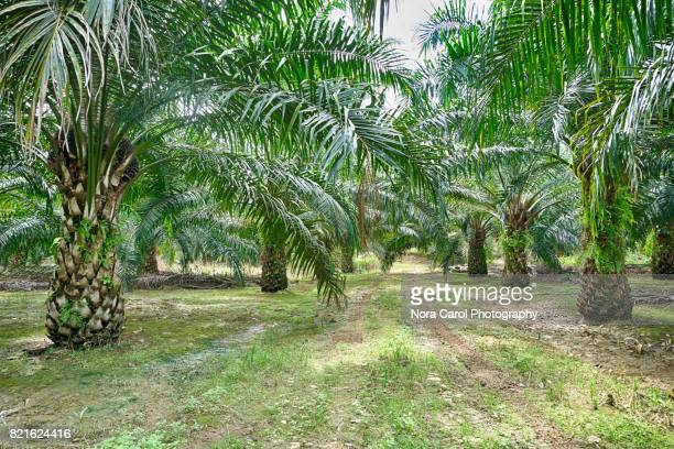 Rows of Palm Oil Trees