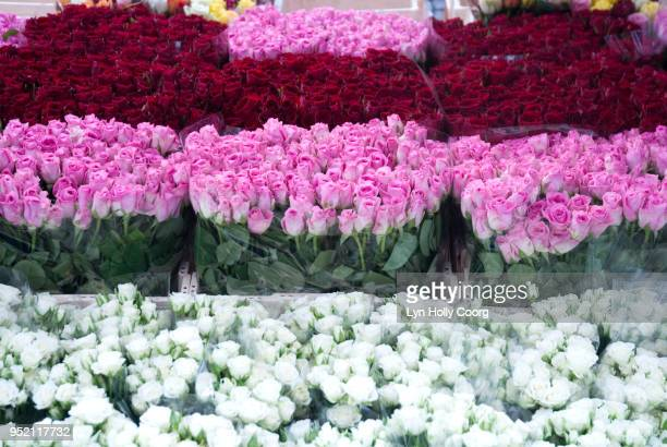 rows of pink, red and white roses for sale in marketplace - lyn holly coorg stock photos and pictures