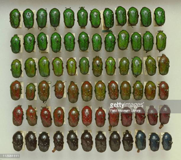 Rows of pinned Scarab beetles Dymusia nitidula Specimens arranged to illustrate the variation within the species 1983