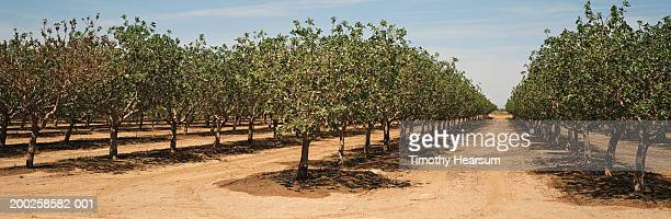 rows of pistachio trees in orchard after irrigation, spring - pistachio tree stock photos and pictures