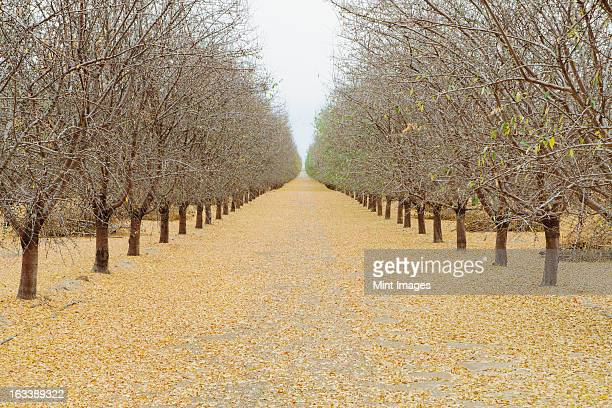 rows of pistachio trees, san joaquin valley, near bakersfield - pistachio tree stock photos and pictures