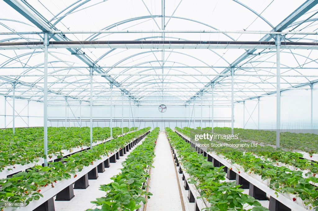 Rows of plants growing in greenhouse : Stock-Foto