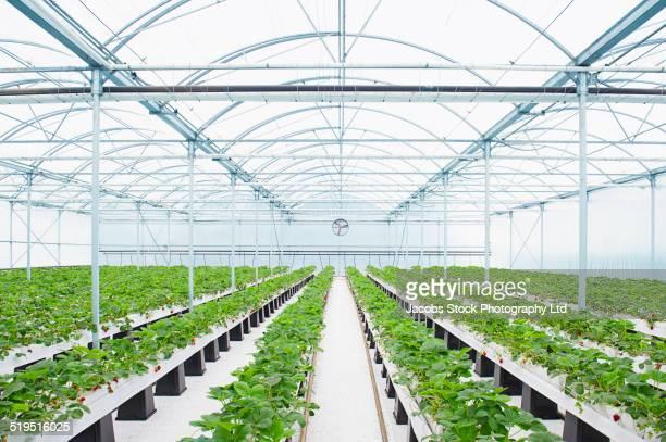 rows of plants growing in greenhouse - gewächshäuser stock-fotos und bilder