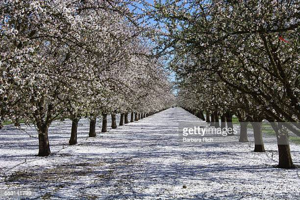 rows of pollinated almond trees with petal drop - almond orchard stock photos and pictures