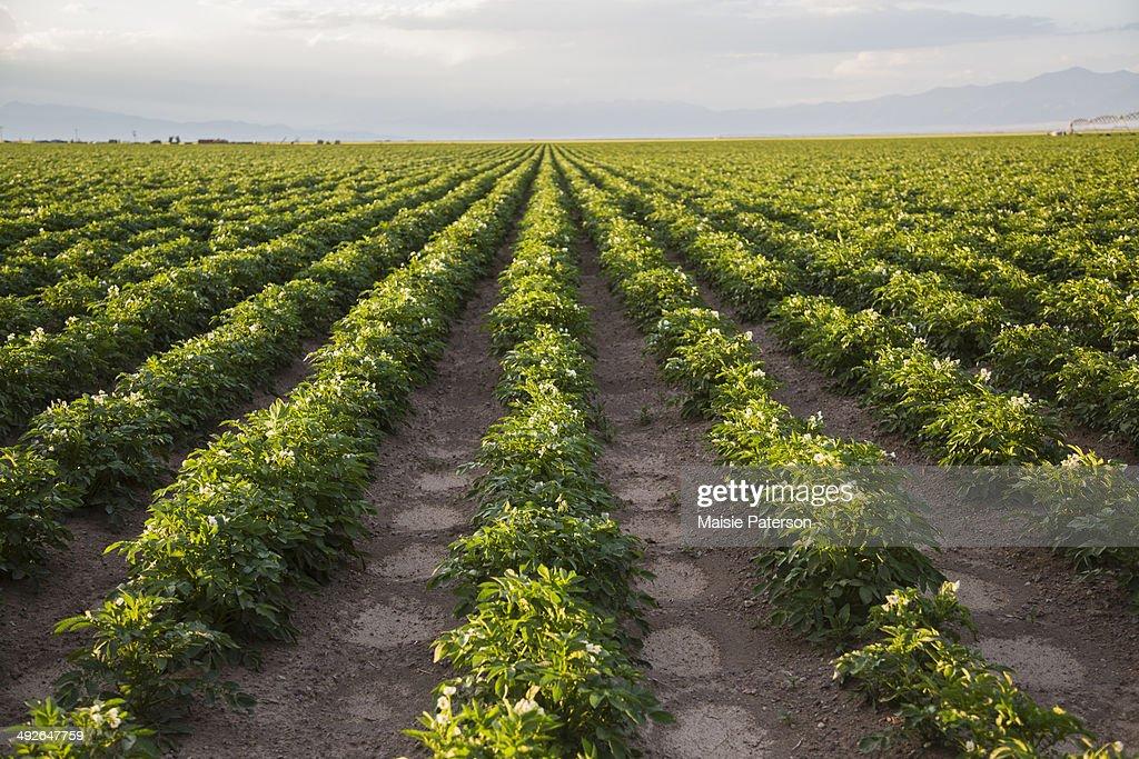 Rows of potato plants, Colorado, USA : Stock Photo