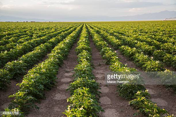 rows of potato plants, colorado, usa - crop plant - fotografias e filmes do acervo