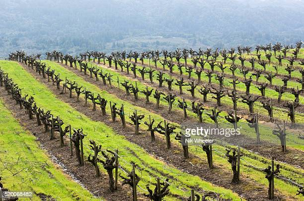 rows of pruned vines in vineyard in sonoma valley wine country in northern california usan - bare tree stock pictures, royalty-free photos & images