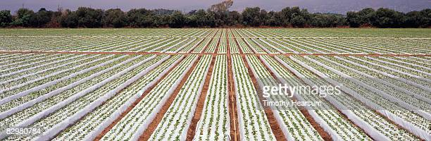 rows of raised bed strawberry plants - timothy hearsum stock photos and pictures