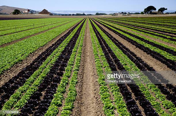 rows of red/green butter lettuce, farm beyond - timothy hearsum foto e immagini stock