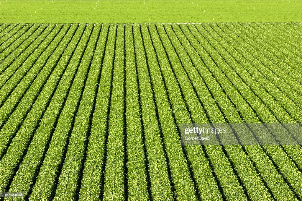 Rows of Romaine Lettuce Growing on Farm : Stock Photo