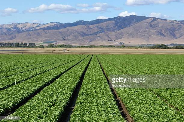 Rows of Romaine Lettuce Growing on Farm