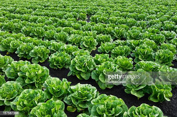 rows of romaine lettuce growing on farm - romaine lettuce stock photos and pictures