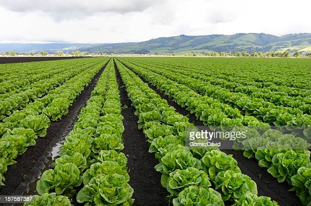rows of romaine lettuce under cloudy sky growing on farm - lettuce stock pictures, royalty-free photos & images