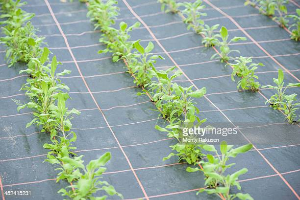 rows of sage growing - monty rakusen stock pictures, royalty-free photos & images