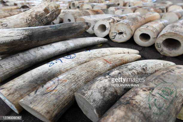 Rows of seized ivory are prepared for crushing by a machine to mark the World Elephant Day in Singapore on August 12, 2020. - Singapore began...