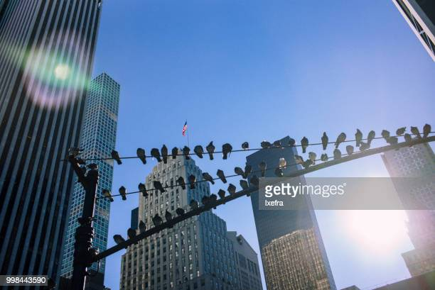 Rows of several pigeons resting on an electricity pole agains the New York skyline.