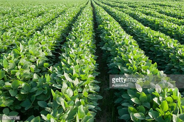 rows of soybeans - soybean stock pictures, royalty-free photos & images