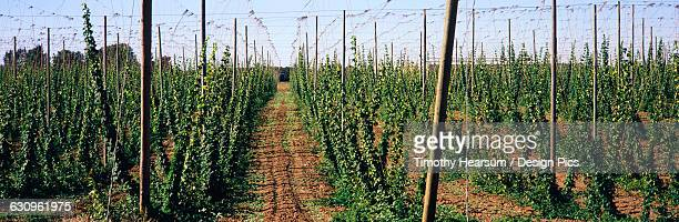 rows of staked mature hops await the fall harvest for use in beer making and floral decorations, pacific northwest - timothy hearsum ストックフォトと画像