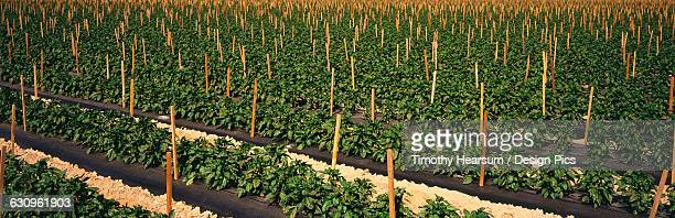Rows of staked mid-growth bell pepper plants on black plastic in the Coachella Valley in the spring