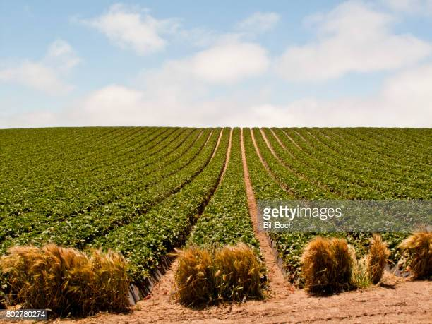rows of strawberries growing on a large commercial farm - strawberry fields stock photos and pictures
