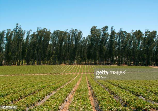 Rows of strawberries growing on a large commercial farm with trees in the background