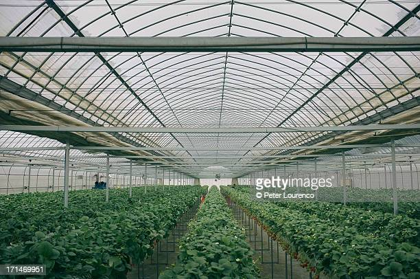Rows of strawberry plants in a greenhouse