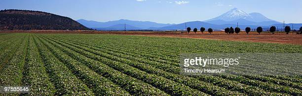rows of strawberry plants with mt. shasta beyond - timothy hearsum stock photos and pictures