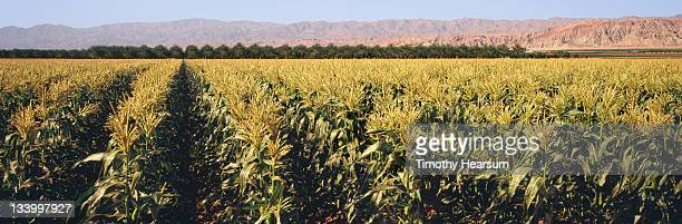 rows of tasseled corn with date palms beyond - timothy hearsum stock-fotos und bilder