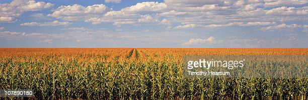 rows of tassled corn; blue sky and clouds beyond - timothy hearsum stock photos and pictures
