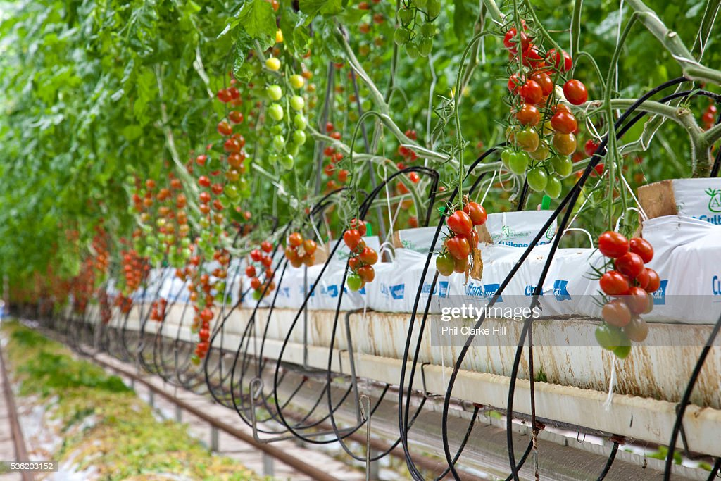 Rows Of Tomato Plants Growing Hydroponically The Cornerways Nursery Is Largest Greenhouse In