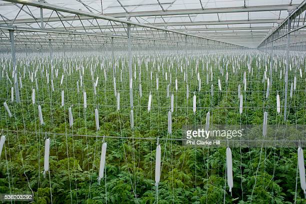 Rows of tomato plants growing hydroponically The Cornerways tomato nursery is the largest greenhouse in the UK It is attached to the British Sugar...