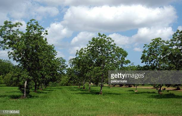 Rows of trees in bloom in a pecan orchard
