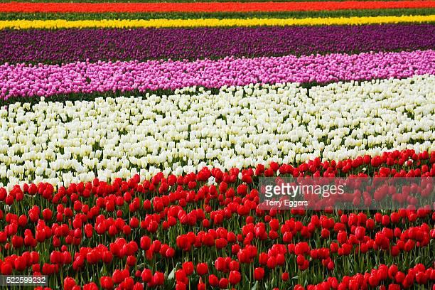 Rows of Tulips in Bloom in Skagit Valley