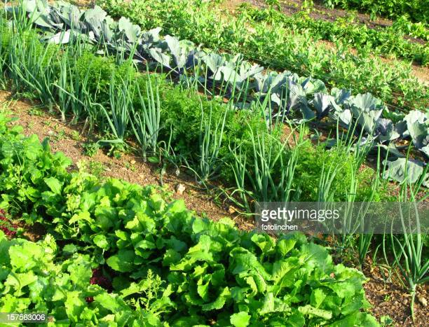 Rows of vegetables in a garden