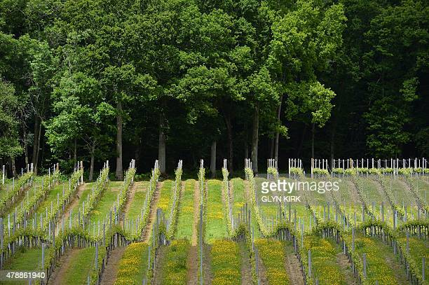 Rows of vines cover the hillls at the Bluebell Vineyard Estate in Furners Green East Sussex on June 6 2015 Winning investor capital and new fans...