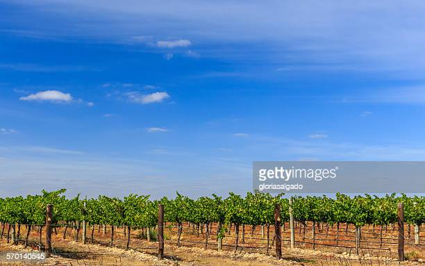 rows of vines in a vineyard, australia - south australia stock photos and pictures