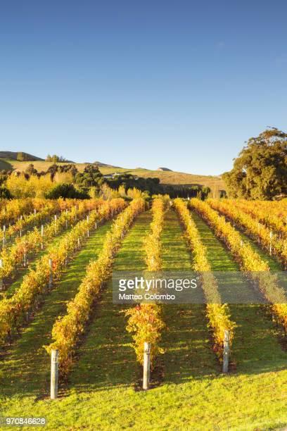 rows of vines in autumn, hawke's bay, new zealand - napier stock-fotos und bilder